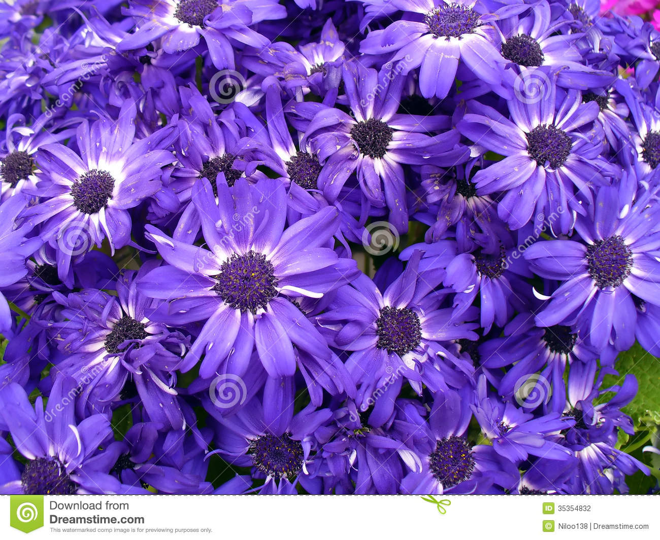 Purple Daisy Flowers Stock Photography Image 35354832