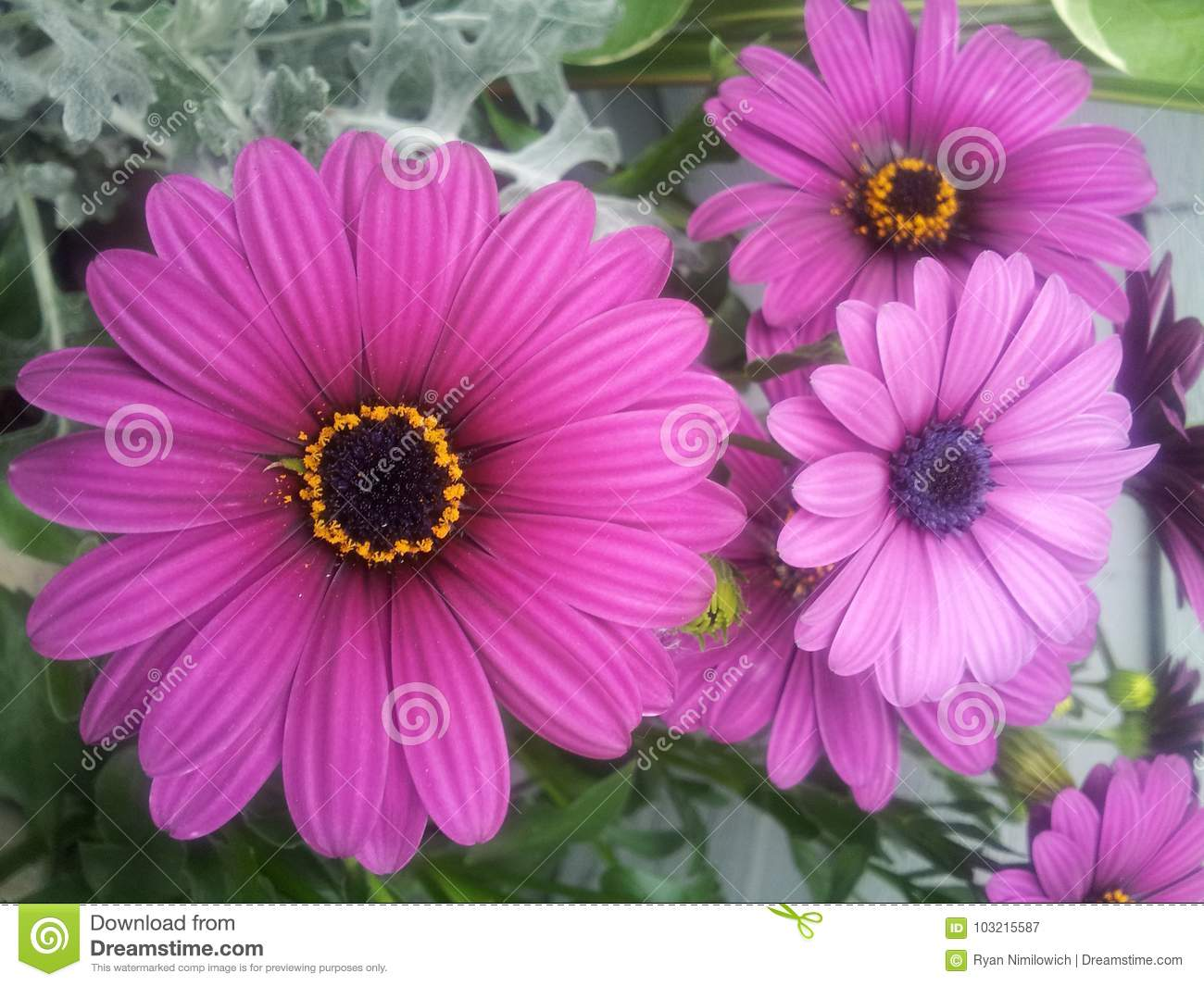 Purple daisy flowers stock image image of daisy green 103215587 download purple daisy flowers stock image image of daisy green 103215587 izmirmasajfo