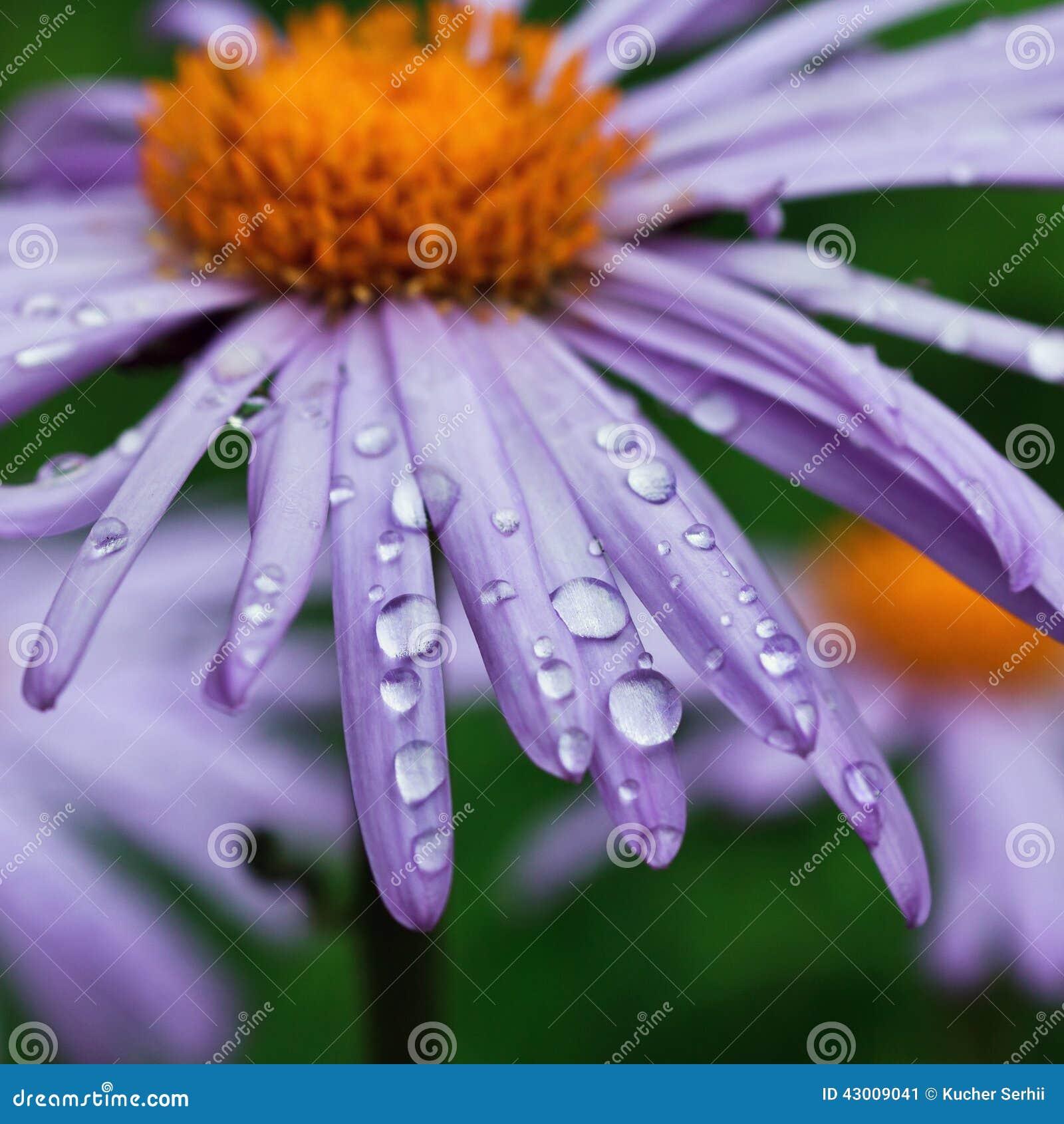 Purple Daisy Flowers With Raindrops Stock Photo 43009041 Megapixl