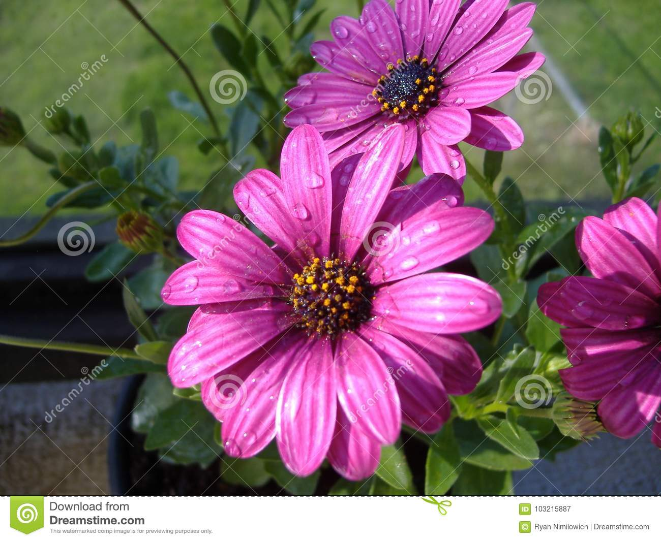 Purple daisy flowers stock image image of still purple 103215887 download purple daisy flowers stock image image of still purple 103215887 izmirmasajfo