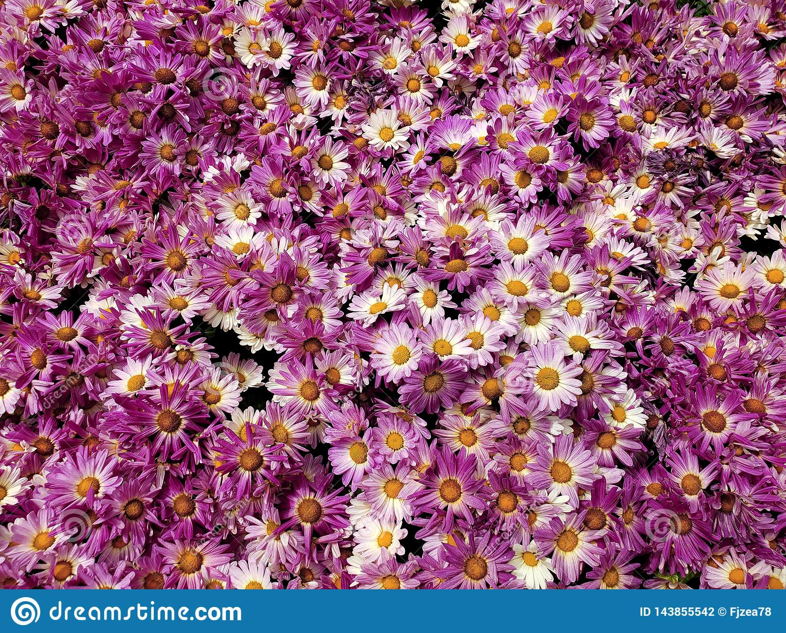 purple daisy flowers with white in a botanical garden, background and texture