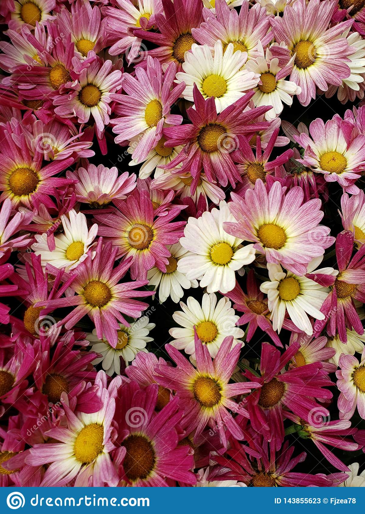 purple daisy flowers with white in a botanical garden in spring season, background and texture