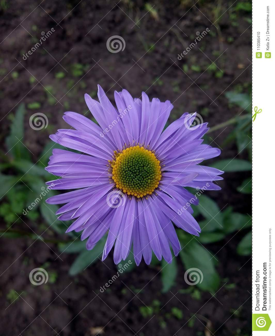 Purple Daisy Witha Yellow Green Center Stock Photo Image Of Purple