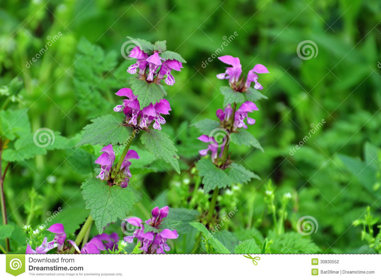Purple Dead-nettle Herb Blooming Stock Photo - Image: 30830552