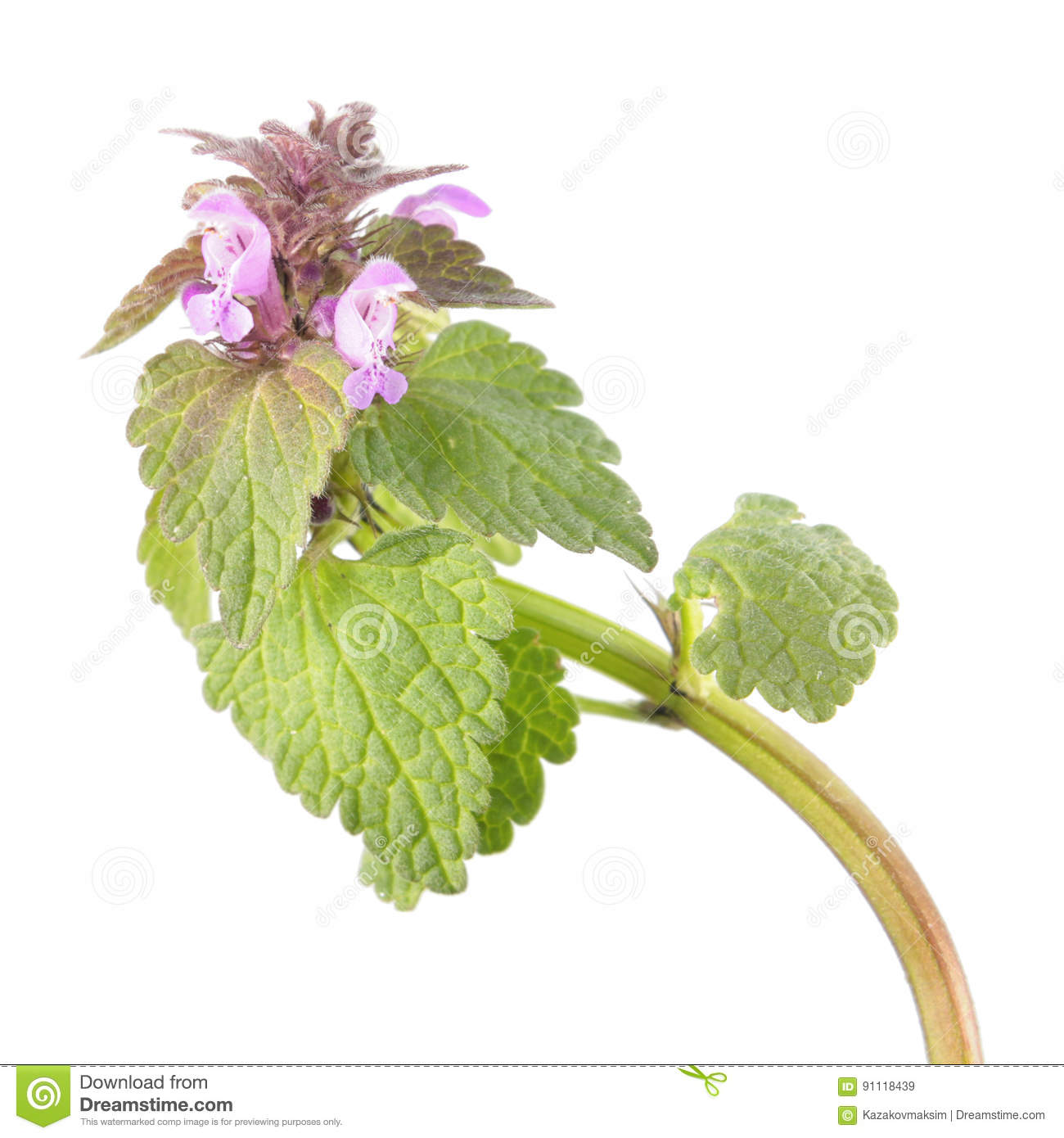 Purple Dead-nettle Or Lamium Purpureum Isolated On White ... on house plant rubber plant, poisonous plants with purple leaves, purple foliage plants with leaves, house plants with bronze leaves, house plants with waxy red blooms, house plants and their names, perennial plants with purple leaves, house plants with shiny leaves, house plants with dark red leaves, house plants with small leaves, wandering jew with fuzzy leaves, purple house plant fuzzy leaves, olive tree green leaves, house plant purple heart, house with red flowers, house plants with colorful leaves, house plants with light green leaves, florida plants with red leaves, tomato plants with purple leaves, house plants with long green leaves,