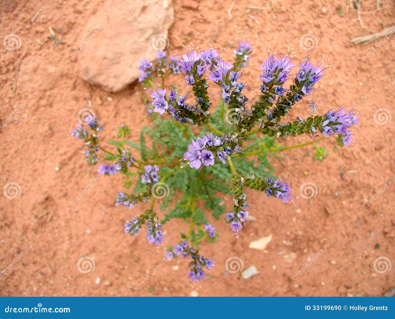 purple desert flower stock photo image 33199690