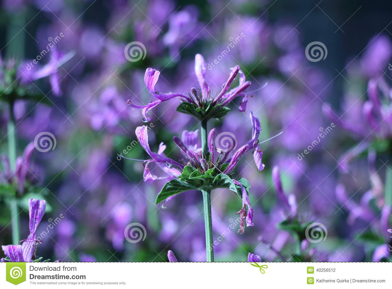 Only Purple