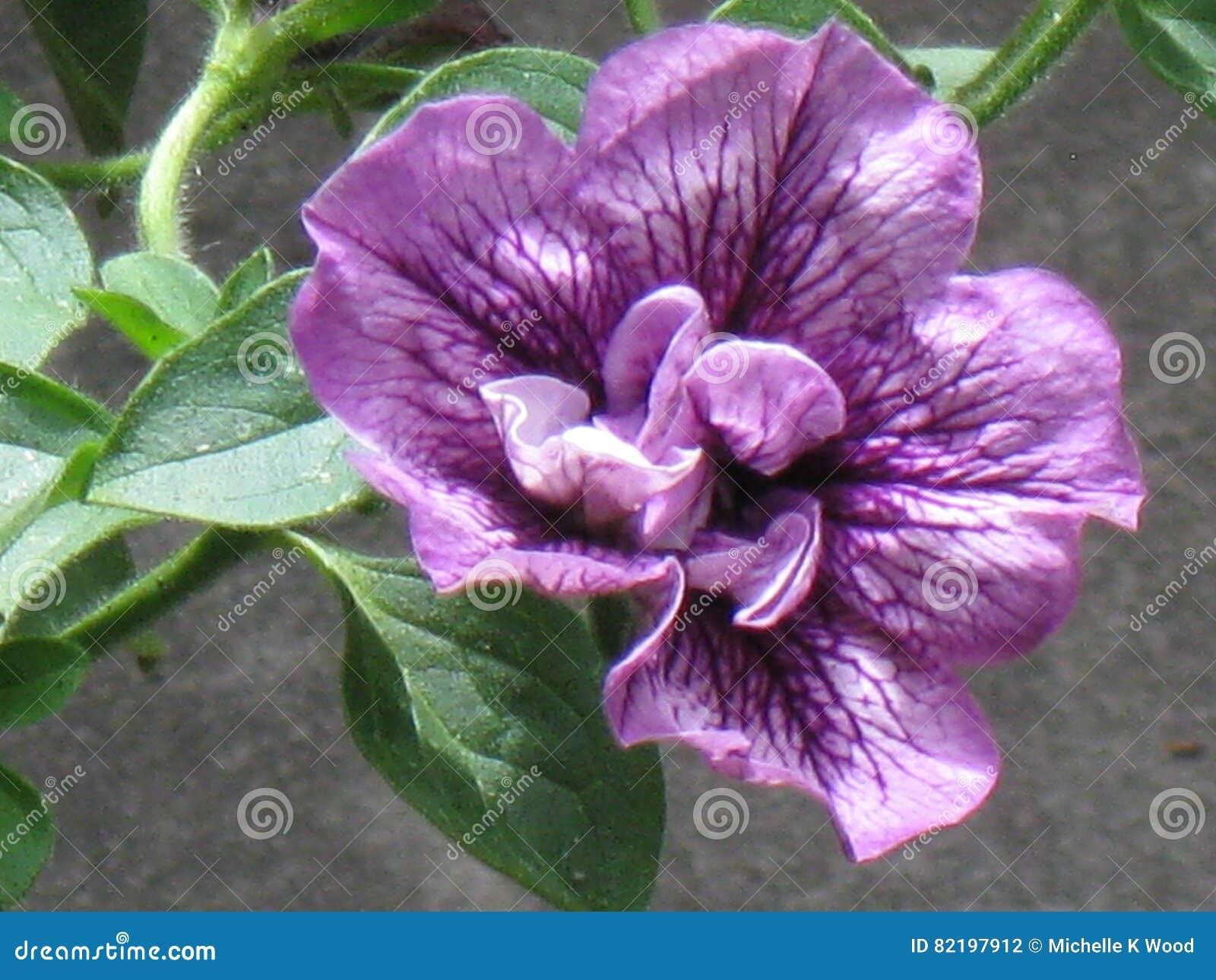 Purple double petunia close up