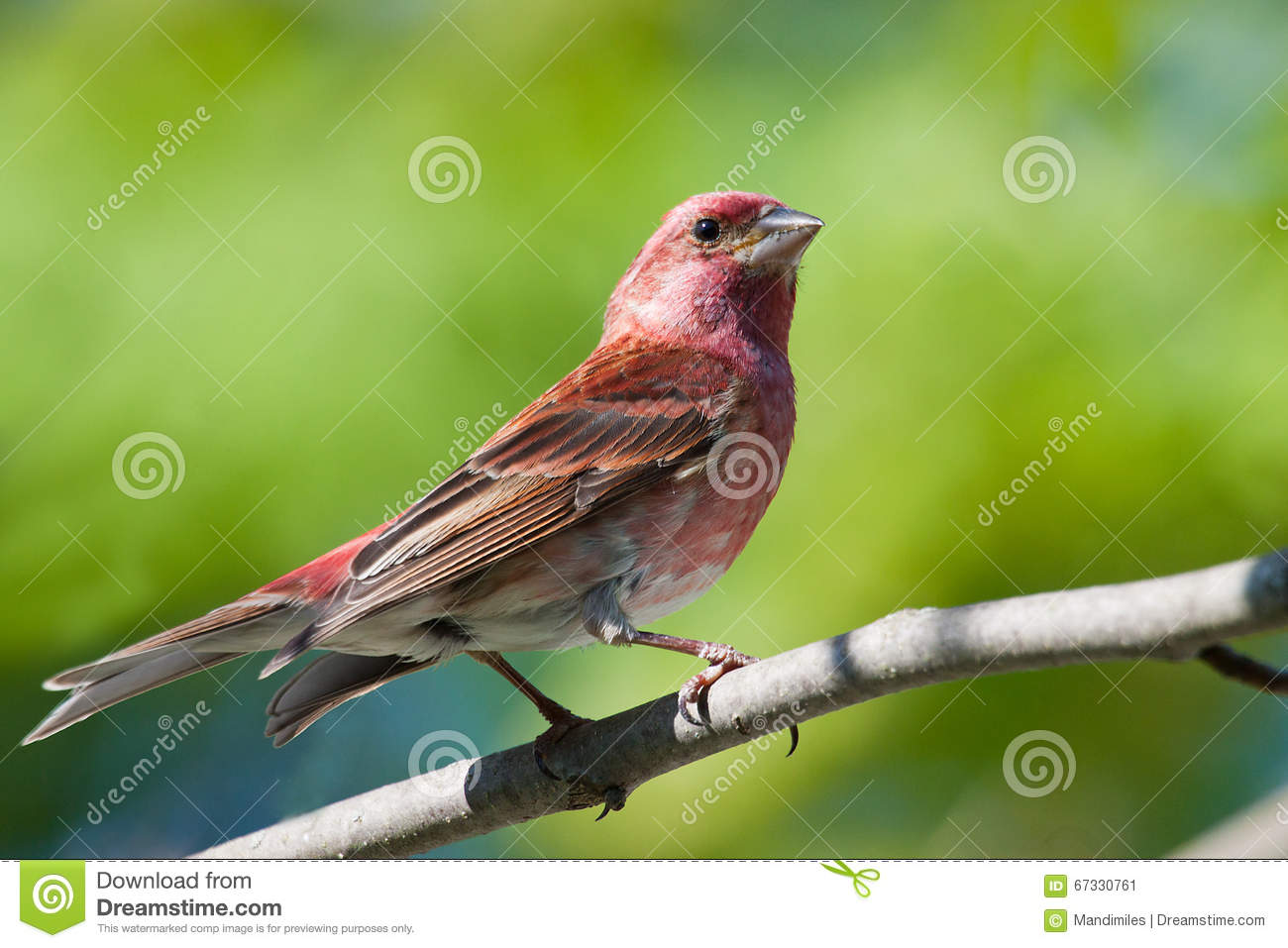 Purple Finch stock image. Image of mate, song, nest ...