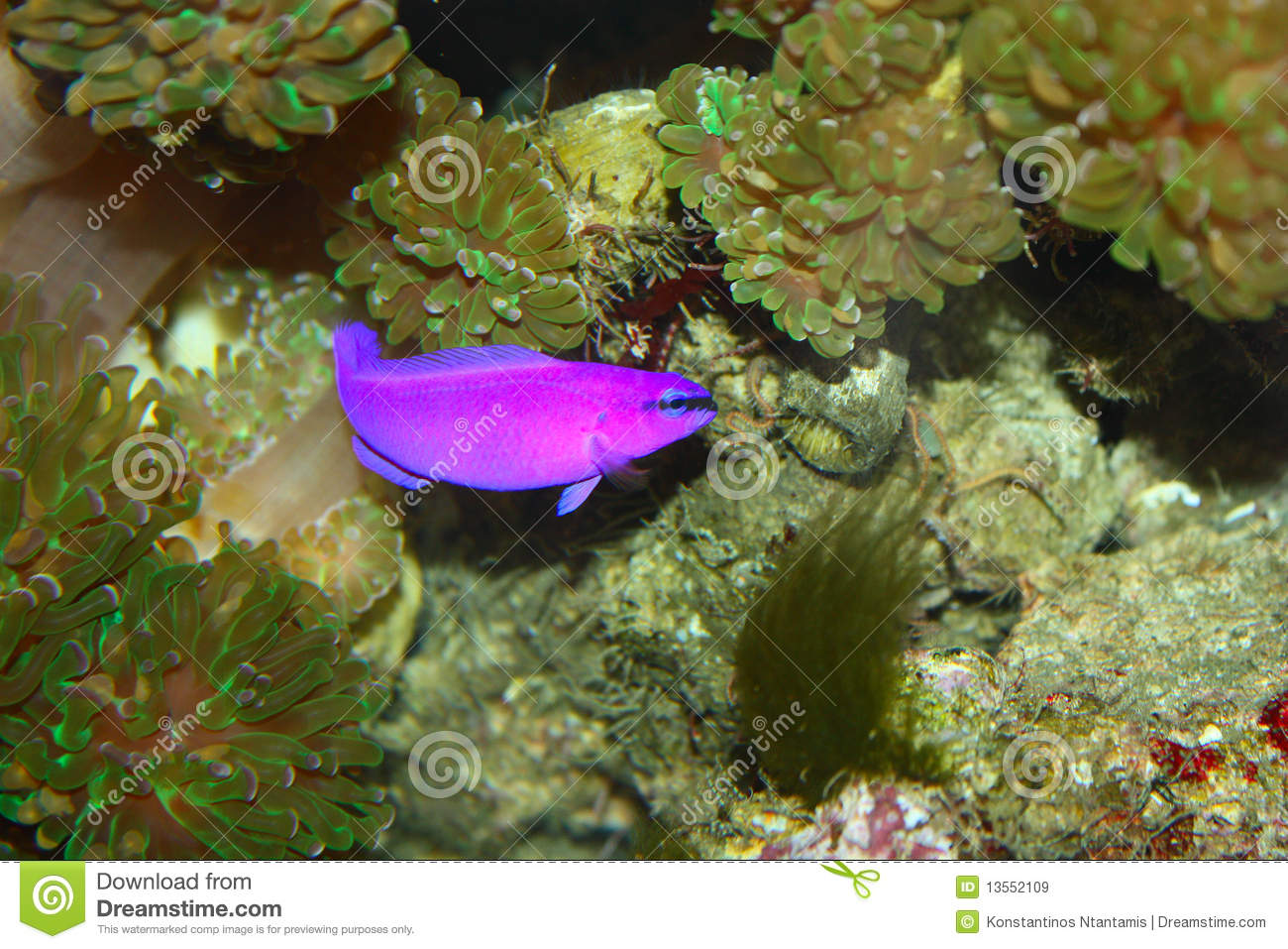 Purple fish royalty free stock images image 13552109 for Purple freshwater fish