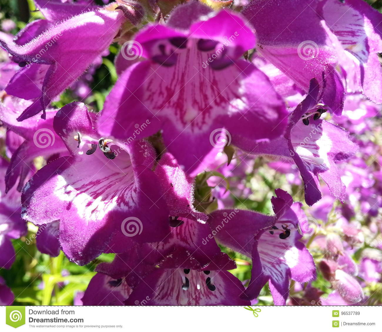 Purple Flower With Bell Shape Stock Image Image Of Pacific