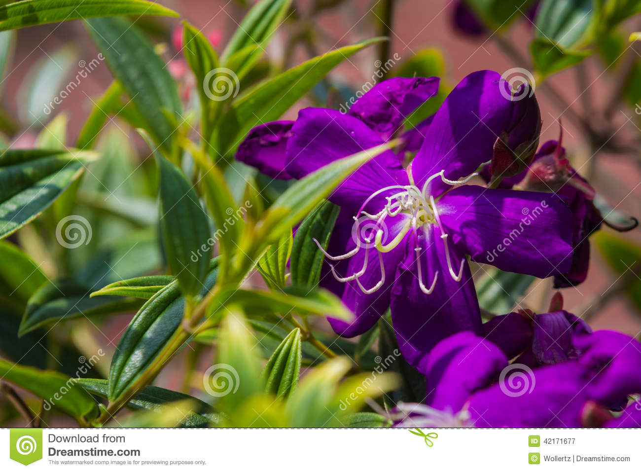 Common Purple Garden Flowers purple flower - common melastoma stock photo - image: 42171677