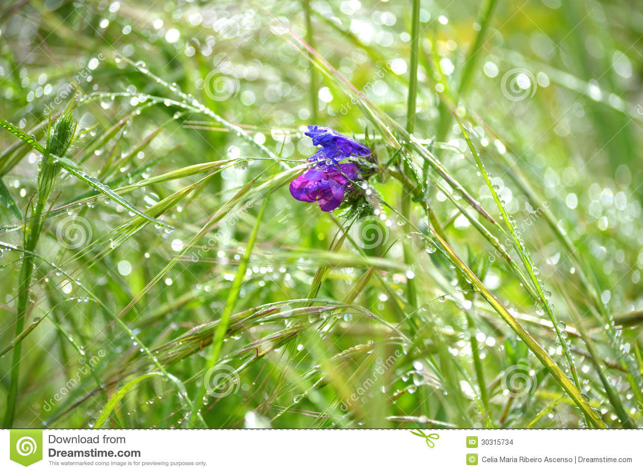 Purple Flower In The Grass And Dew Stock Photo Image Of Blossom