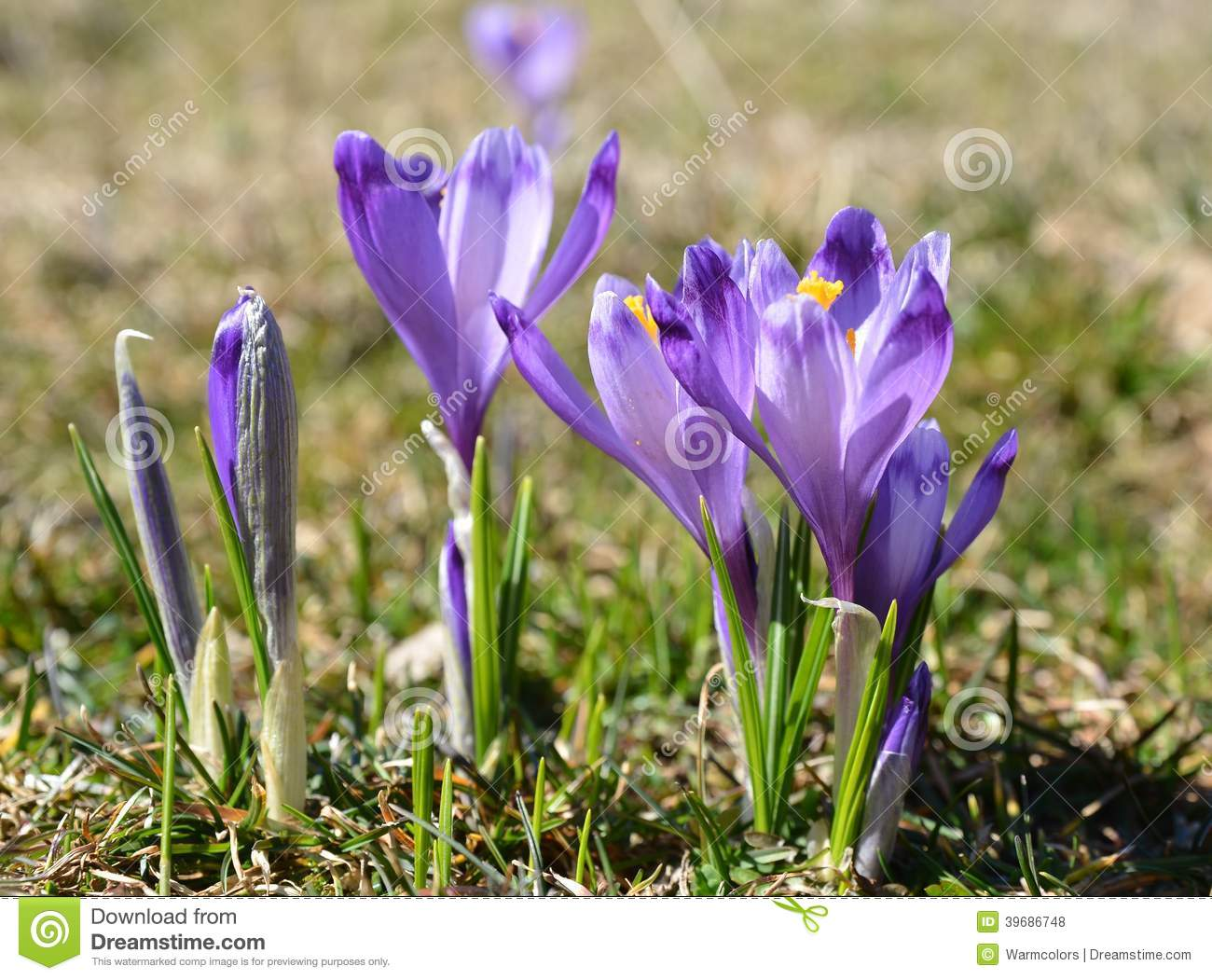 Purple Flower In The Green Grass At Early Spring Stock Photo Image