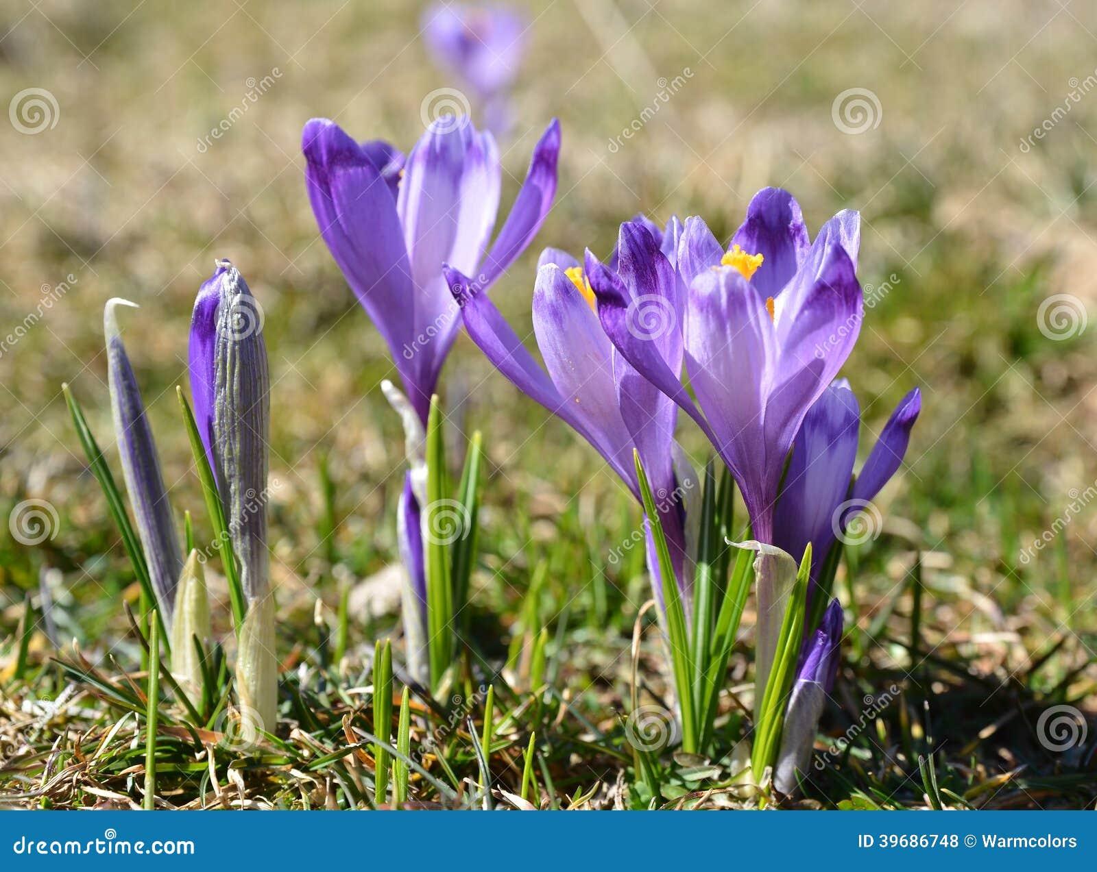 purple early spring flowers wallpapers gallery