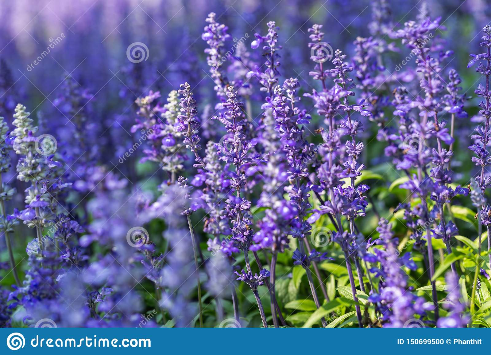 Blue Salvia flower and green leaf in garden at sunny summer or spring day for postcard beauty decoration.