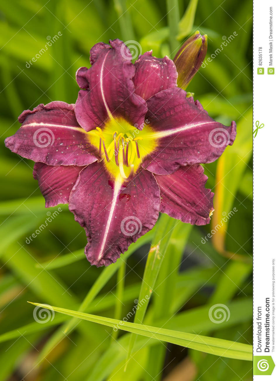 Purple Flower Hibiscus Stock Photo Image Of Close Herb 82635178