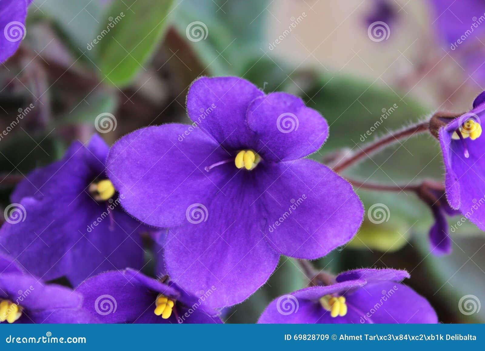 Purple Flower Stock Image Image Of Purple Fresh Background 69828709