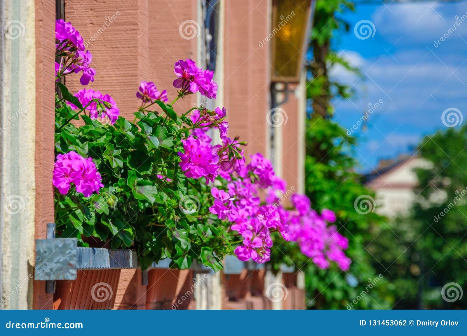 Purple flower Pelargonium, Geranium on the balcony