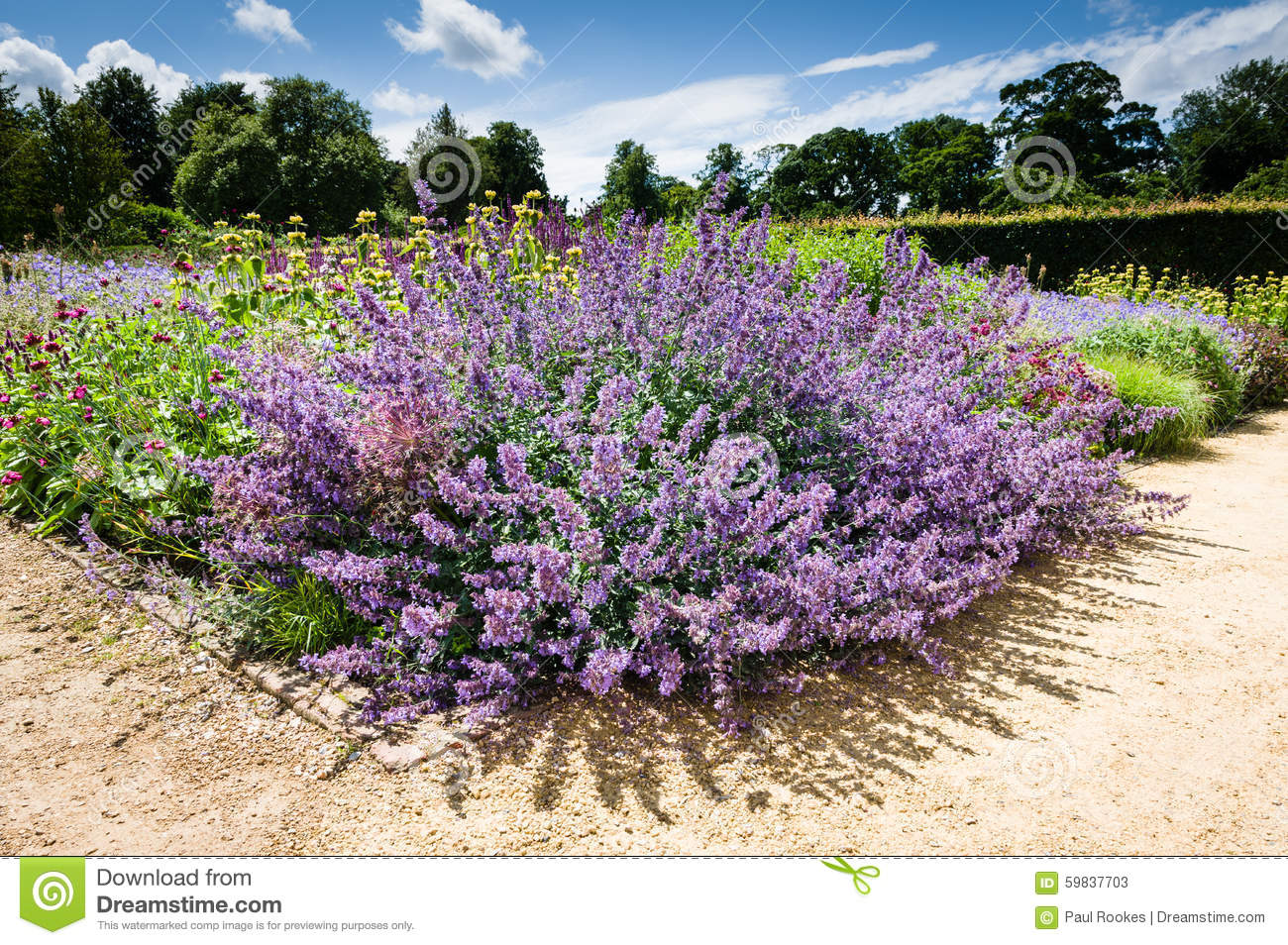 Purple flower perennial plant garden plants stock image image purple flower perennial plant garden plants mightylinksfo