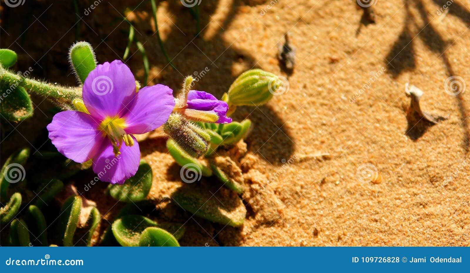 Purple Flower On Sand Stock Photo Image Of Yellow Shadows 109726828