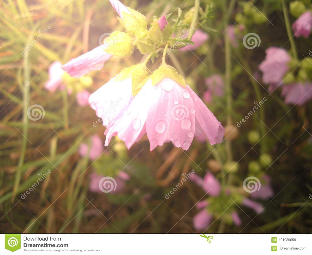 Purple flower with water drops, relaxing nature.