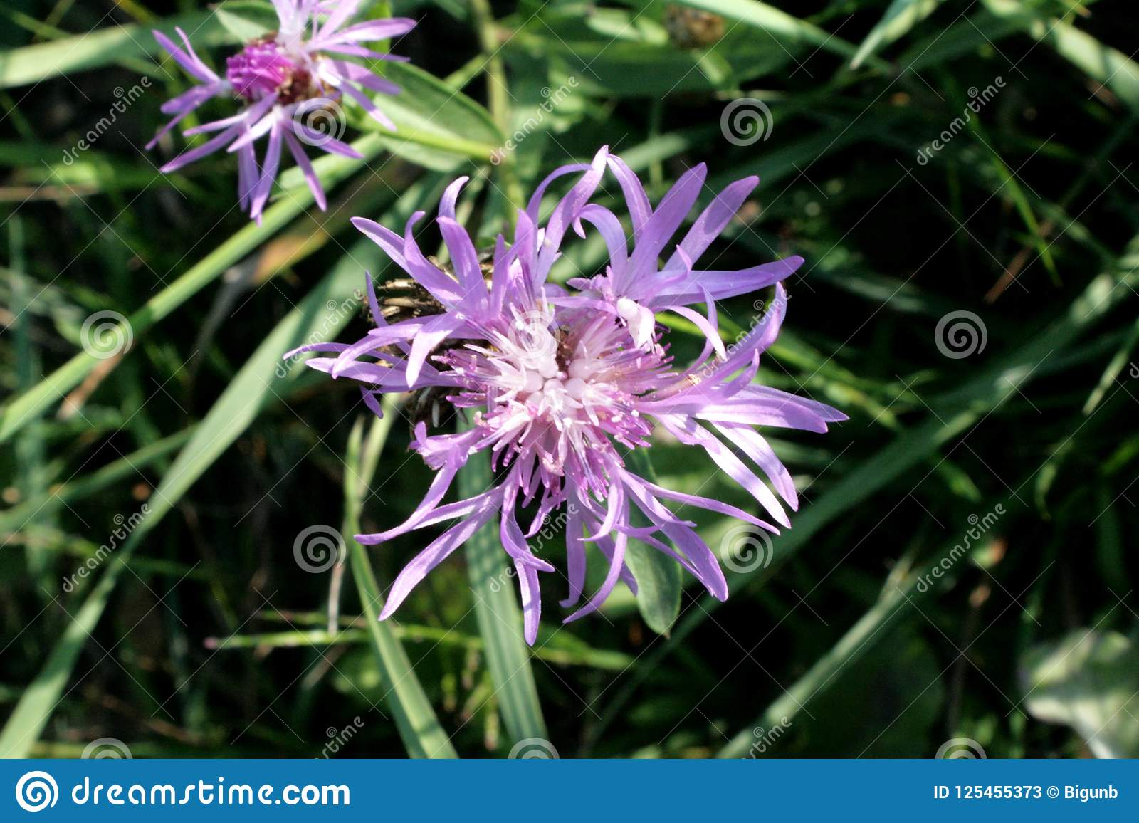 Purple Flower Weed Is Unique Stock Image Image Of Great Gadgets 125455373