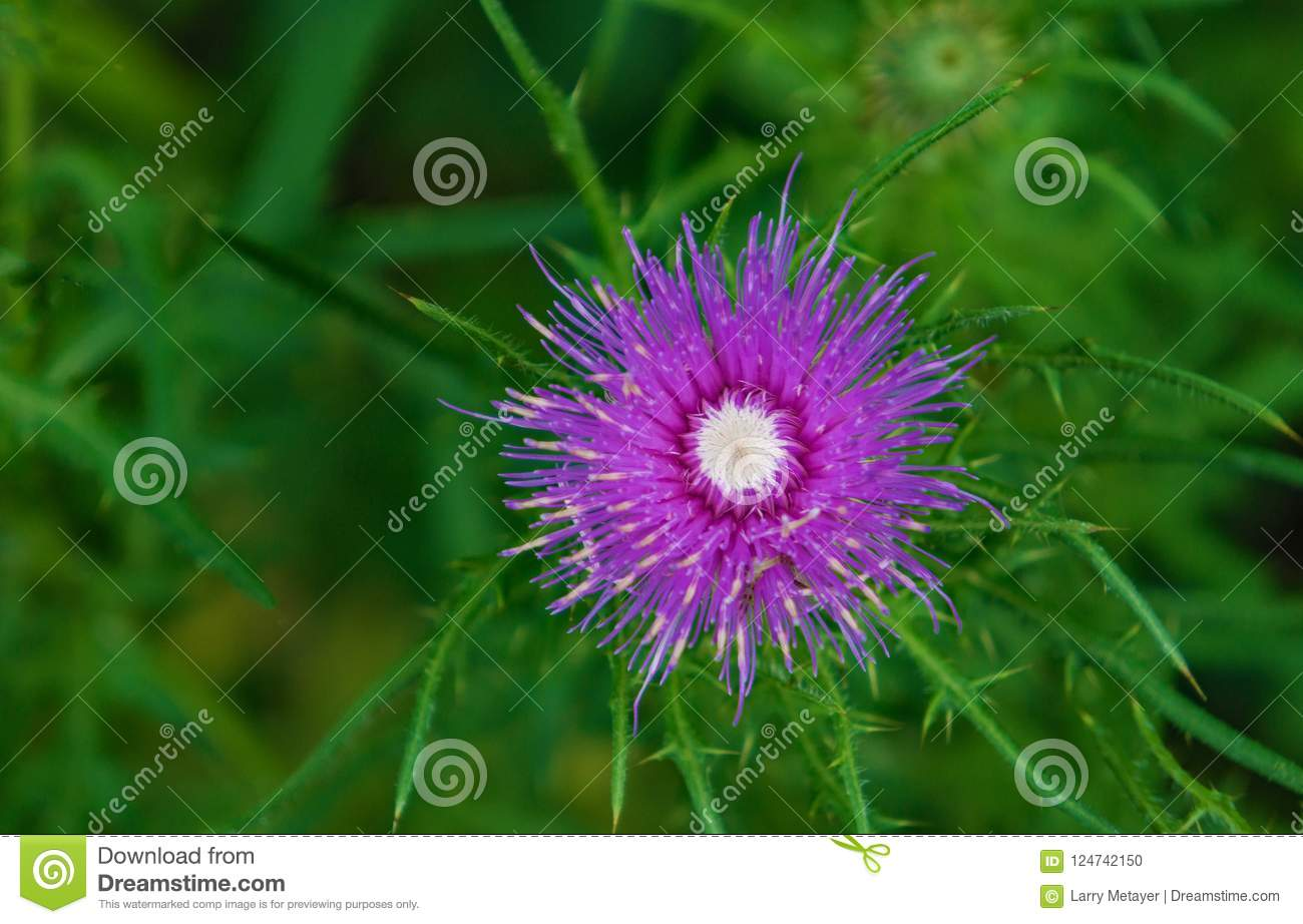 Purple Flower With A White Center Stock Photo Image Of Bloom