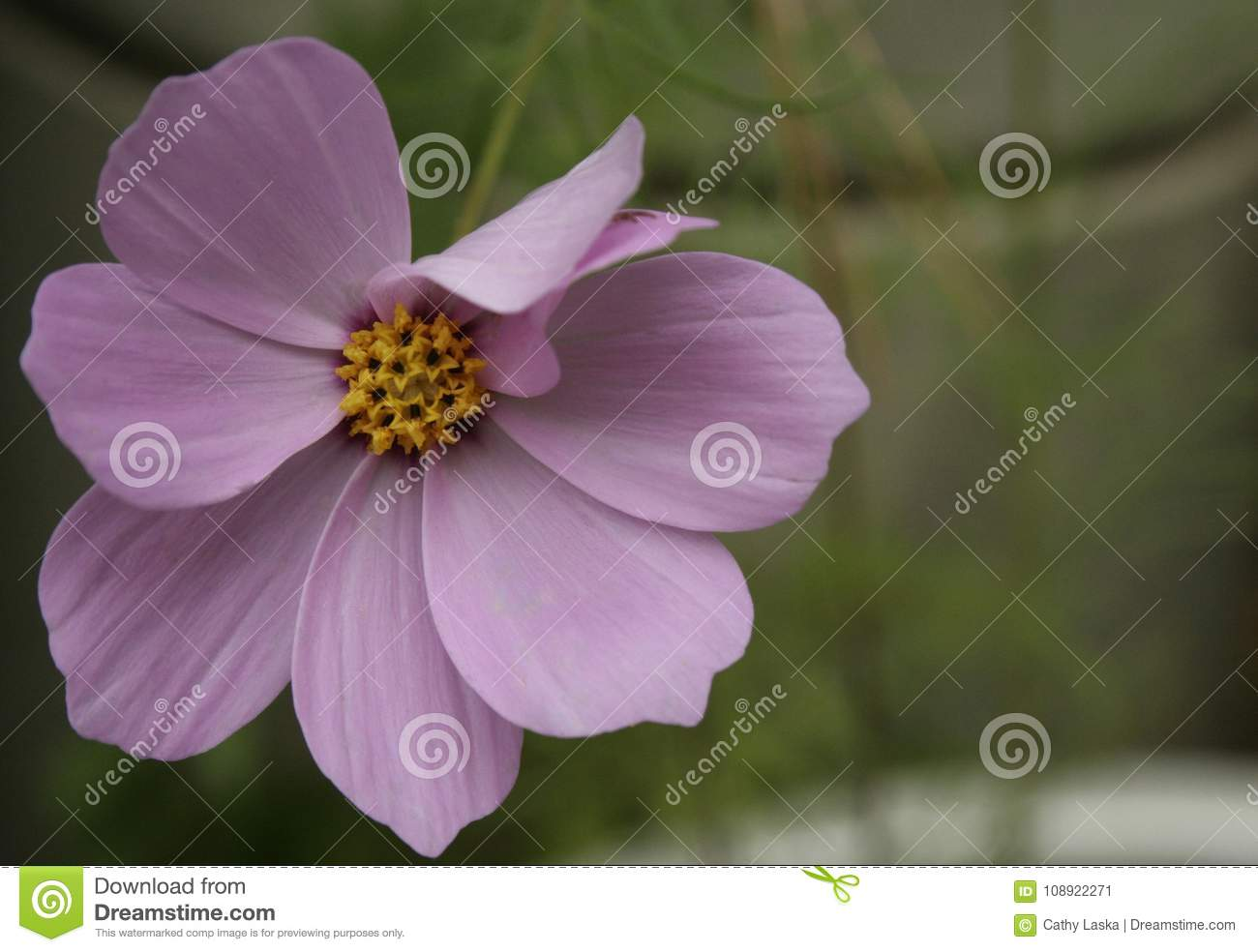 Purple Flower With Yellow Center Stock Image Image Of Floral