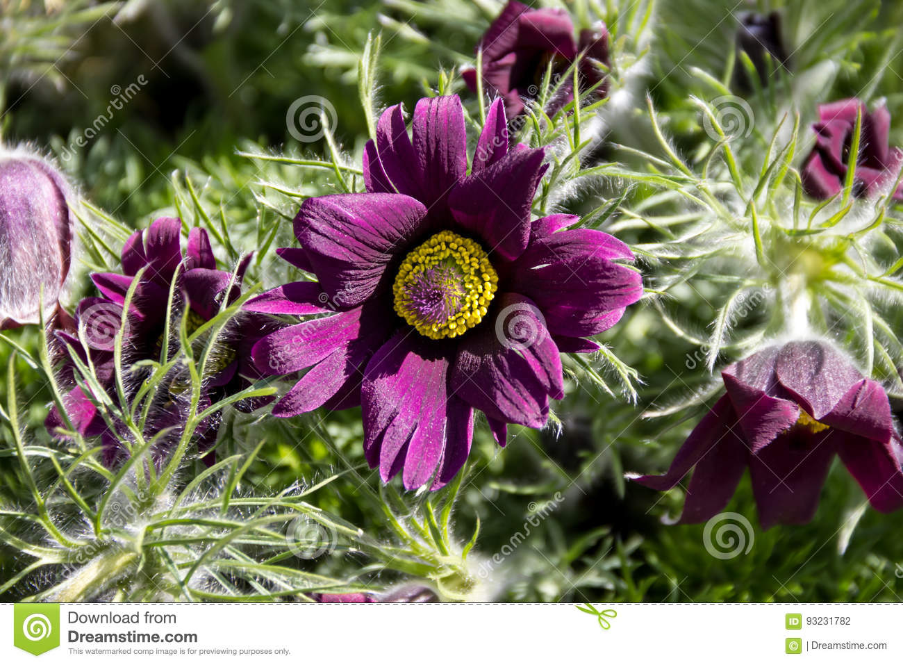 Purple flower with a yellow center and sharp narrow leaves in the download comp mightylinksfo