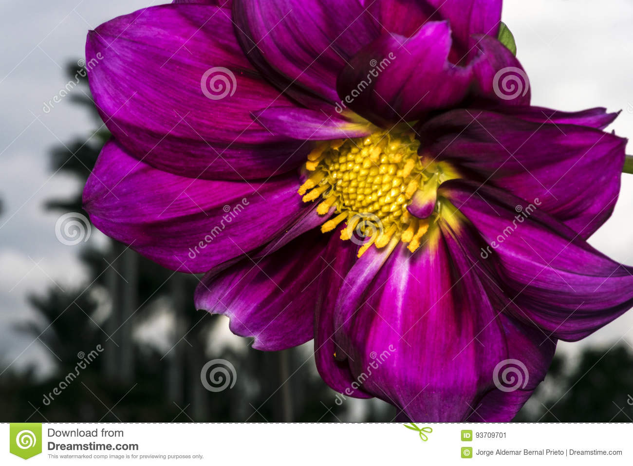 Purple flower with yellow stamen and pollen stock image image of purple flower with yellow stamen and pollen mightylinksfo