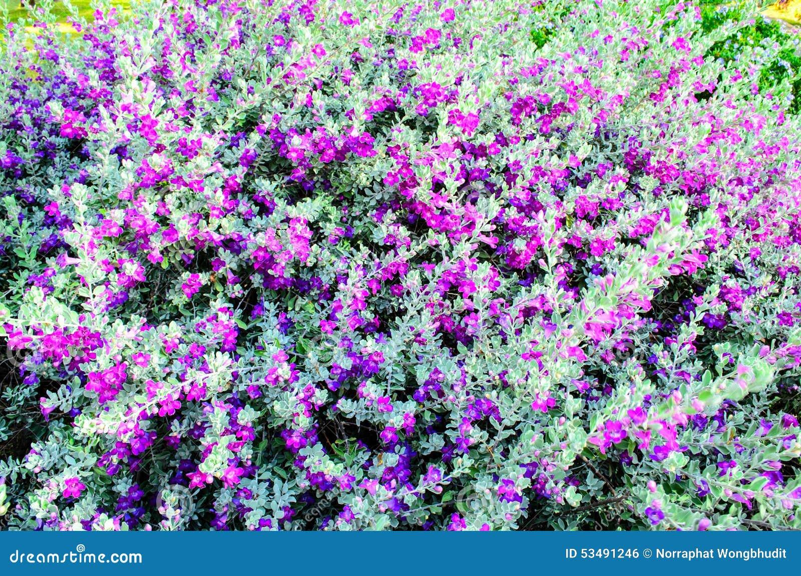 Purple Flowering Bush Stock Photo Image Of Nature Evergreen 53491246