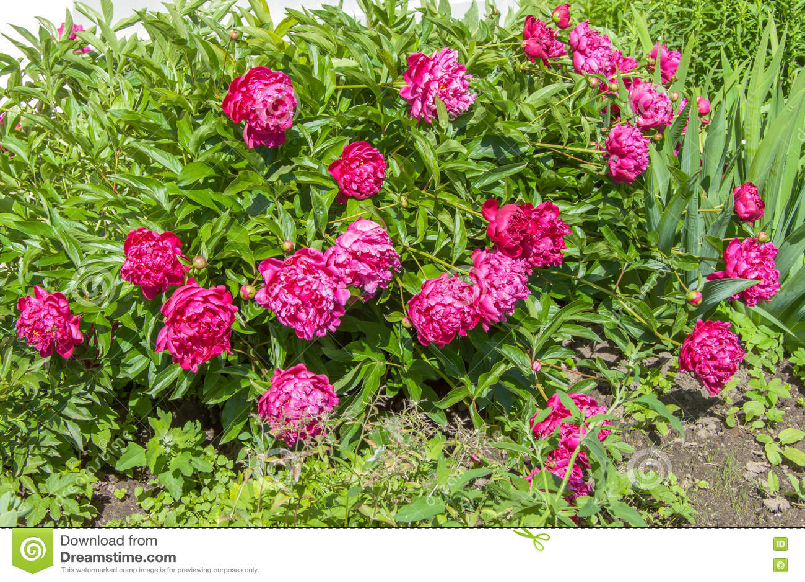Purple Flowering Bush Peonies Stock Image Image Of Closeup