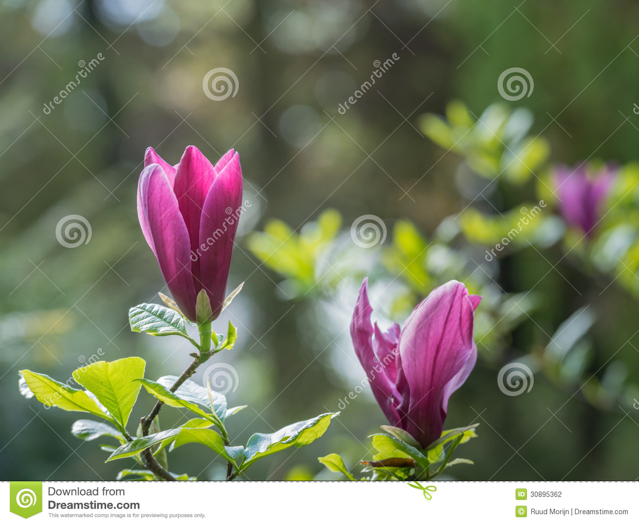 Purple Flowering Magnolia Tree Stock Photo - Image of flowers, bloom ...