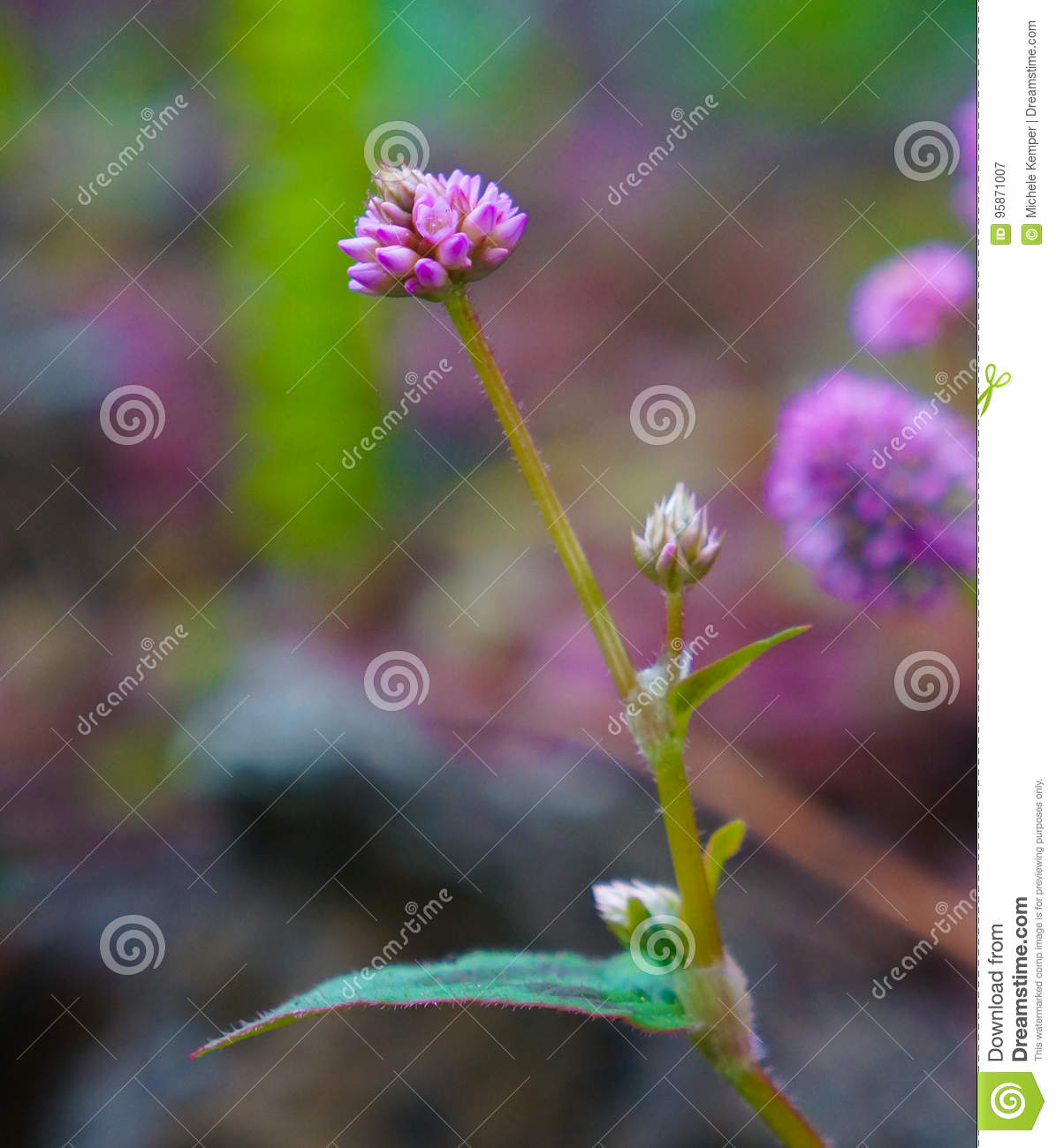 Purple Clover Flower With Tiny Buds Stock Image Image Of Pink