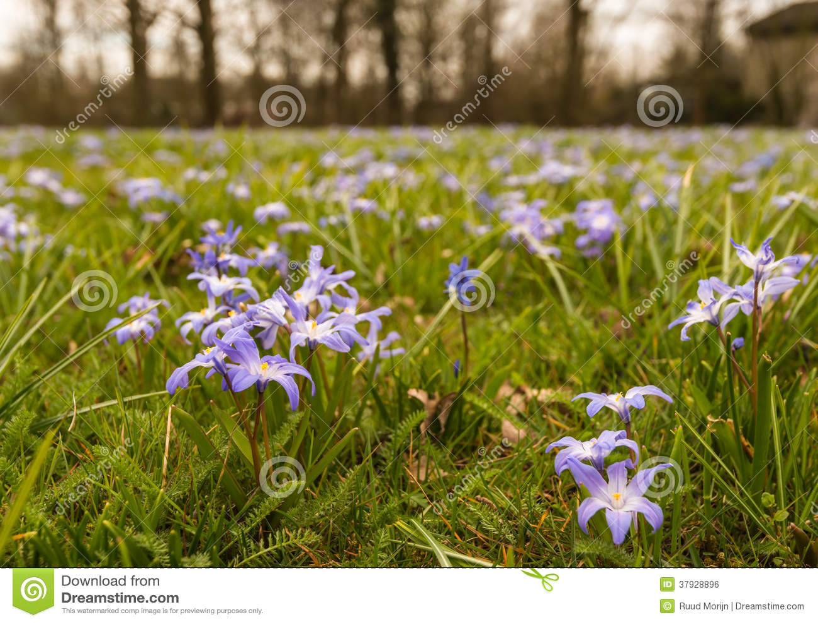 Purple Flowering Scilla Plants Growing Between Grass Stock Photo