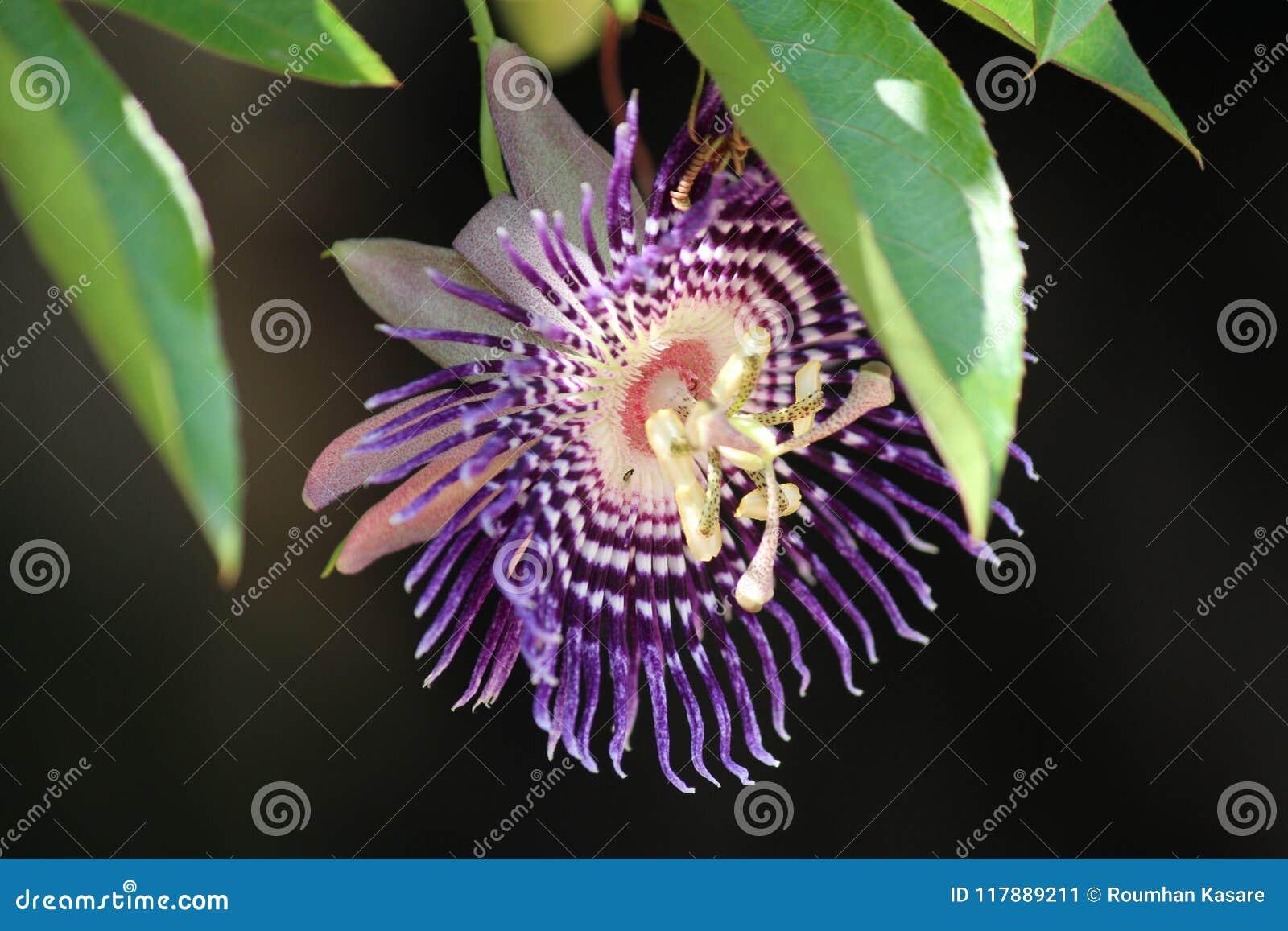 Beautiful And Rare Purple Flower Stock Image Image Of Flowersadd