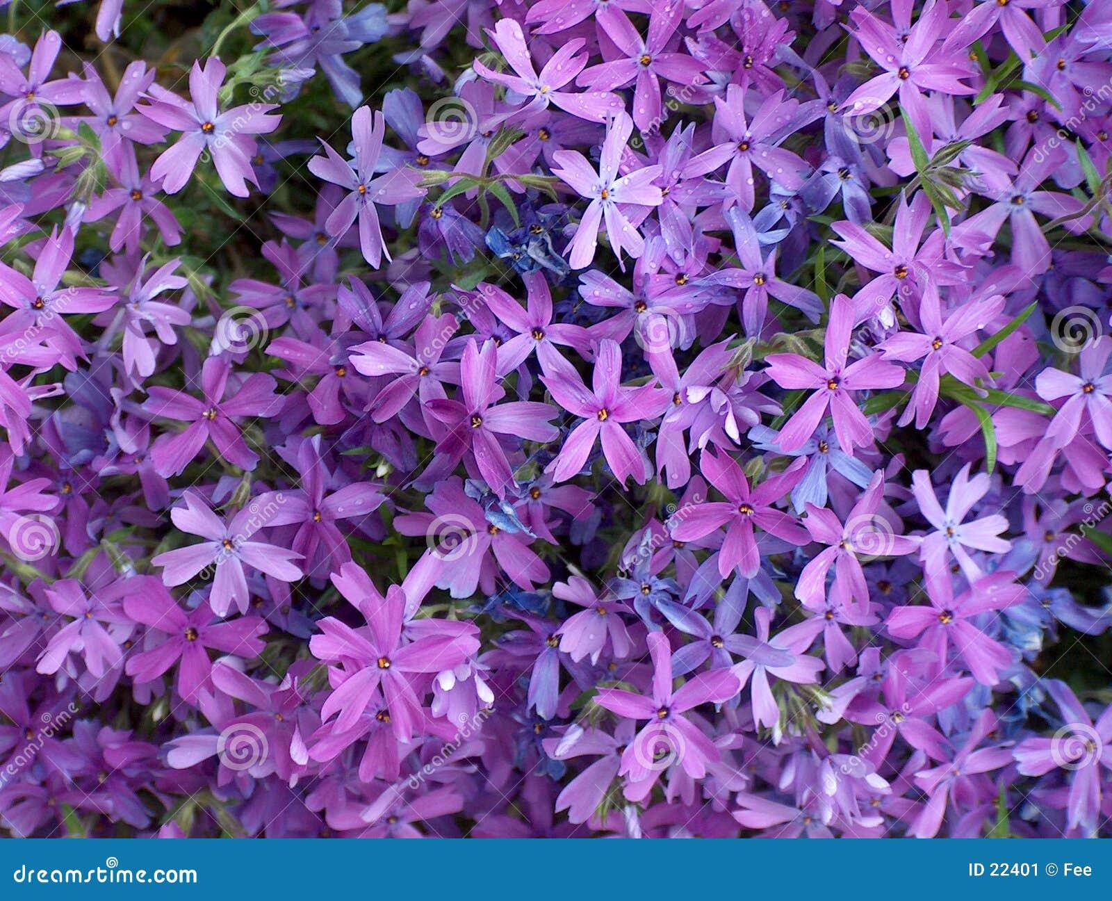 Purple Flowers Stock Image Image