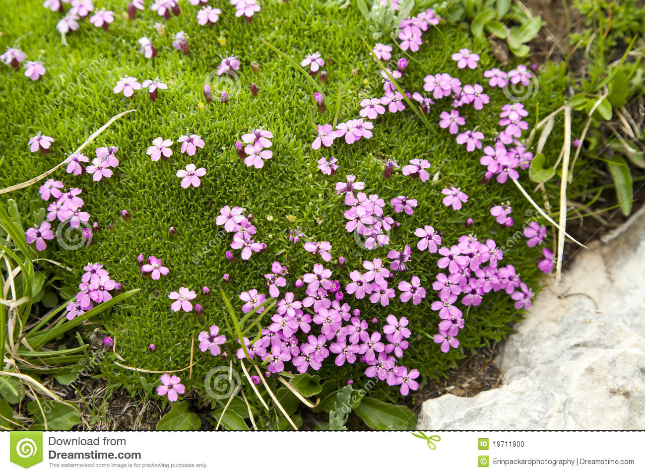 Purple Flowers In Alpine Moss Stock Photo Image 19711900