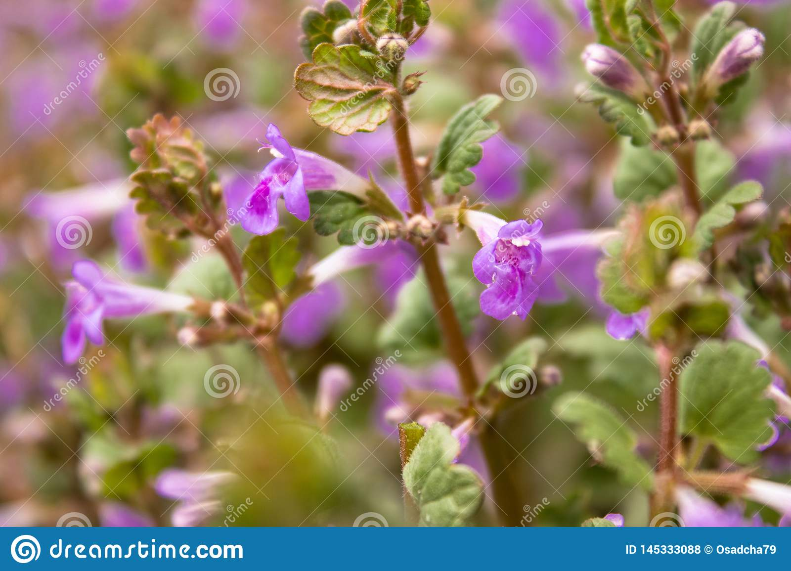 Purple Flowers On A Background Of Green Leaves Tiny Pink Flowers