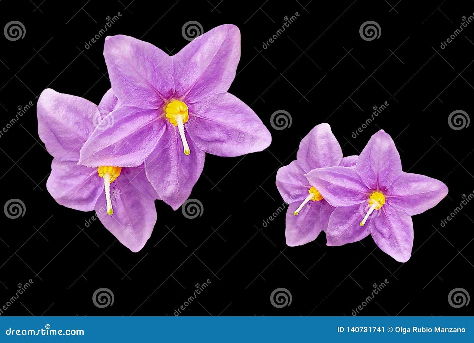 Purple flowers in black background