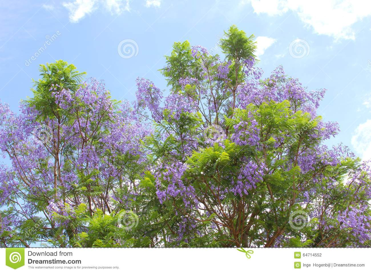 Purple Flowers A Jacaranda Tree In A Blue Sky Stock Image