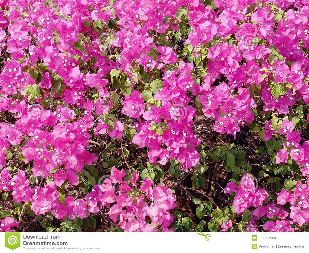 Blooming pink flowers bougainvillea background colorful tropical download blooming pink flowers bougainvillea background colorful tropical flower ornamental climbing plant for mightylinksfo