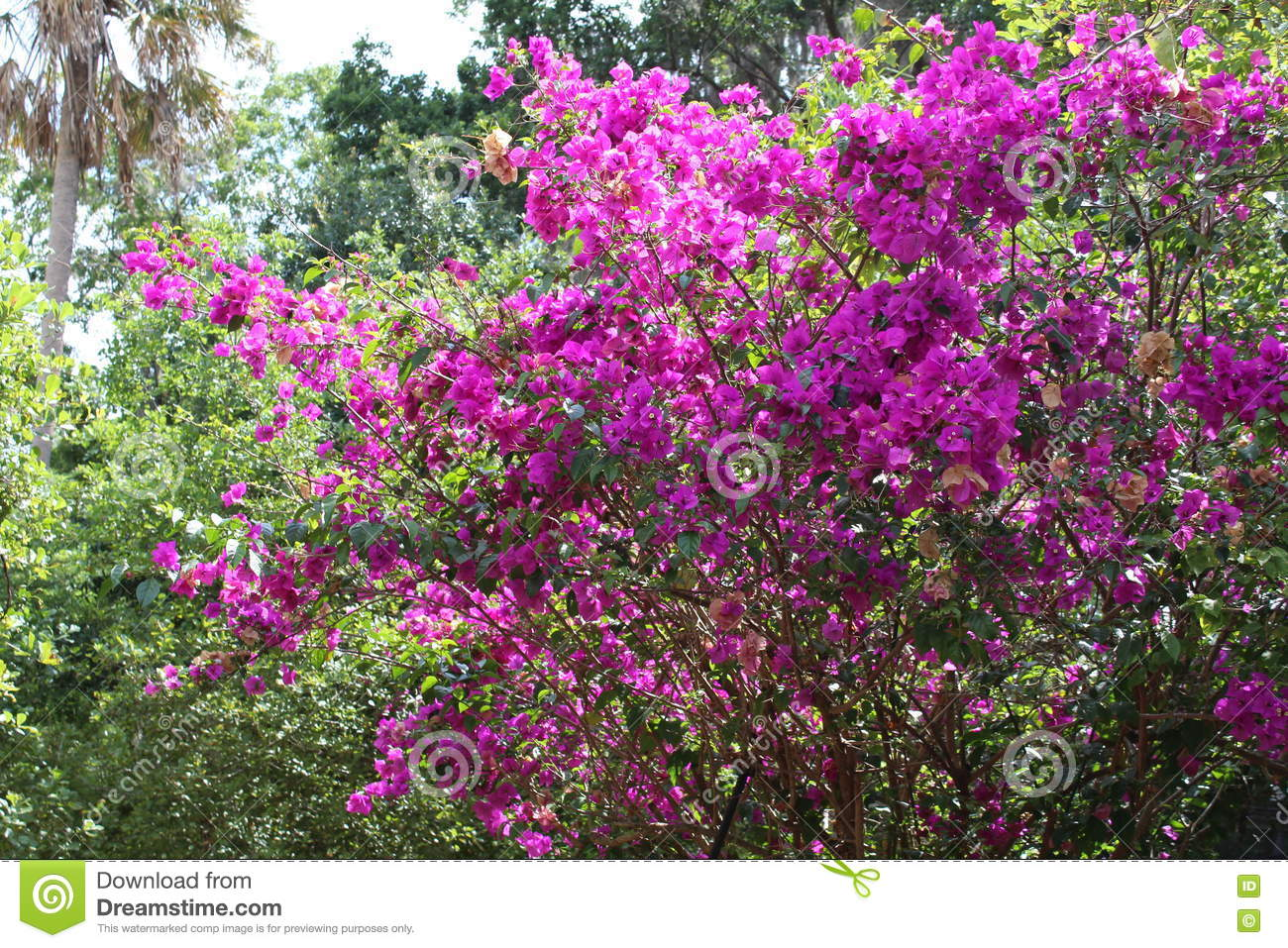 Purple Flowers On A Bush Stock Photo Image Of Meeting 71428914