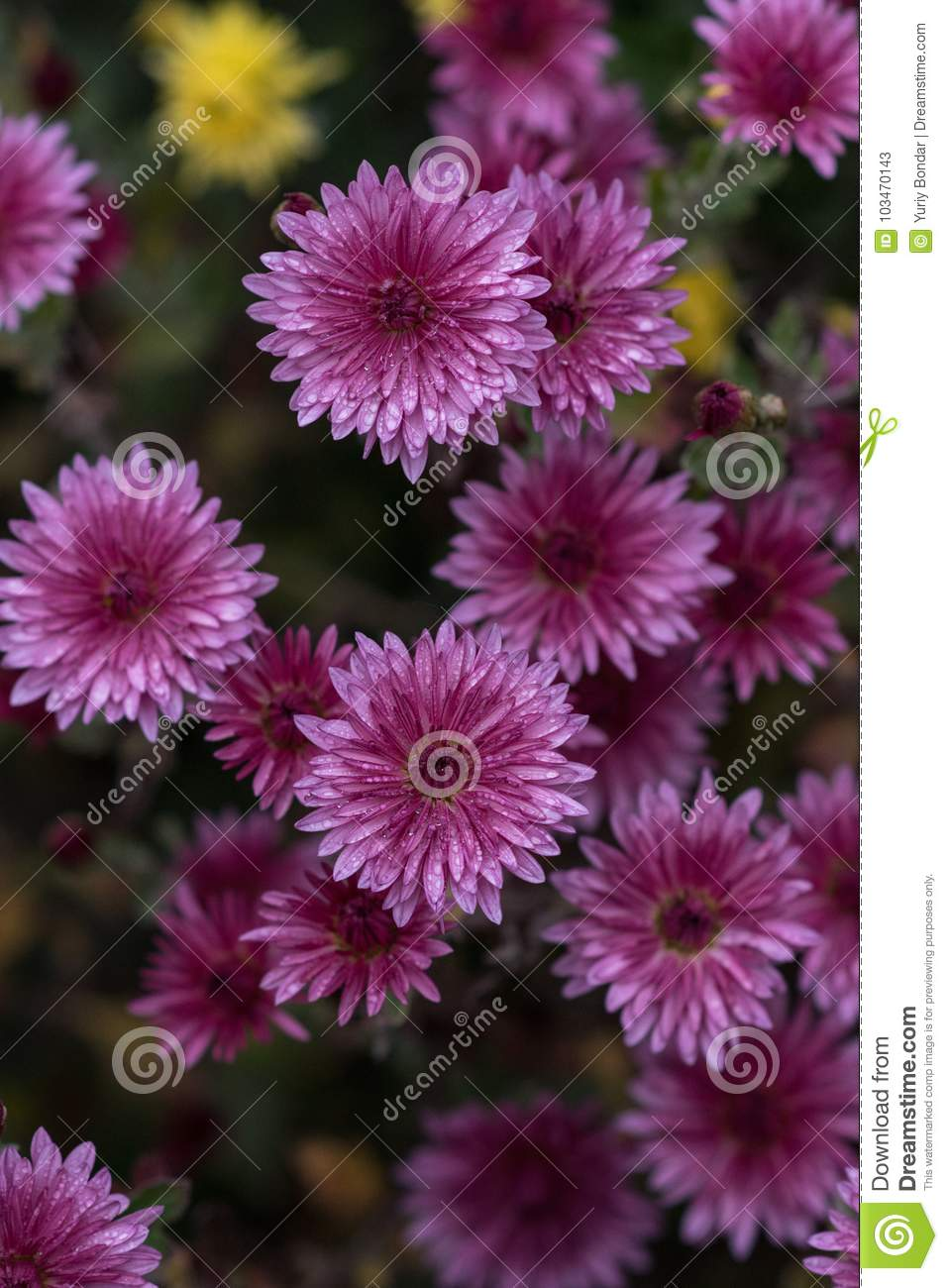 Purple flowers chrysanthemum herbaceous perennials and annual royalty free stock photo izmirmasajfo