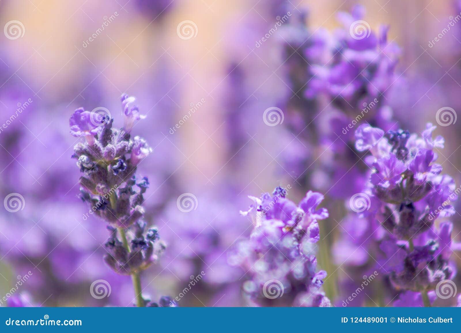 Purple Flowers Close Up On Light Orange Background Stock Image