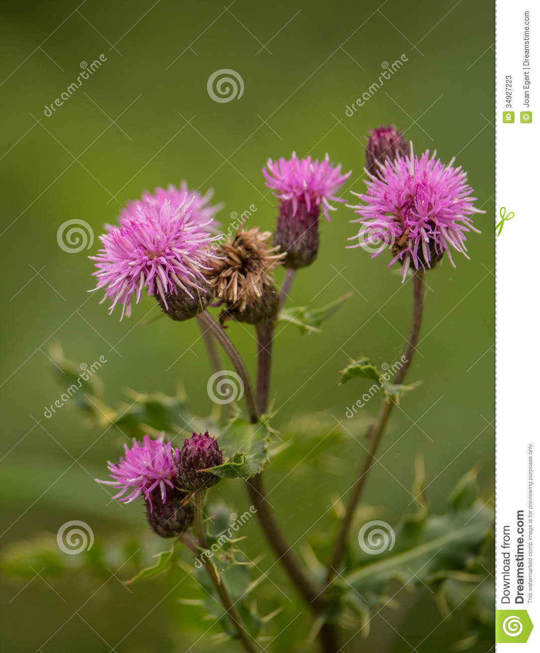 Purple Flowers Of The Creeping Thistle Stock Image Image Of