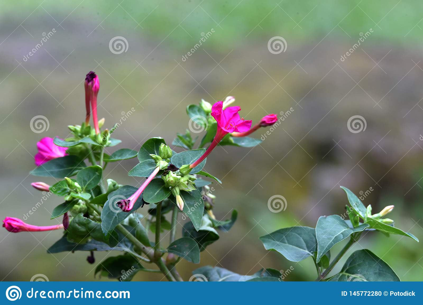 Purple flowers, elongated, like amethyst, with buds beside them