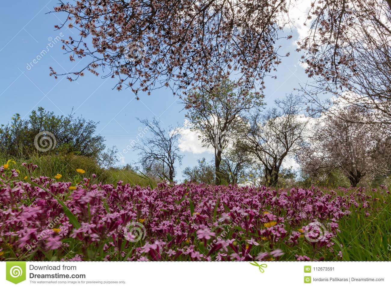 Purple Flowers In A Field Of Blossoming Almond Trees During Earl