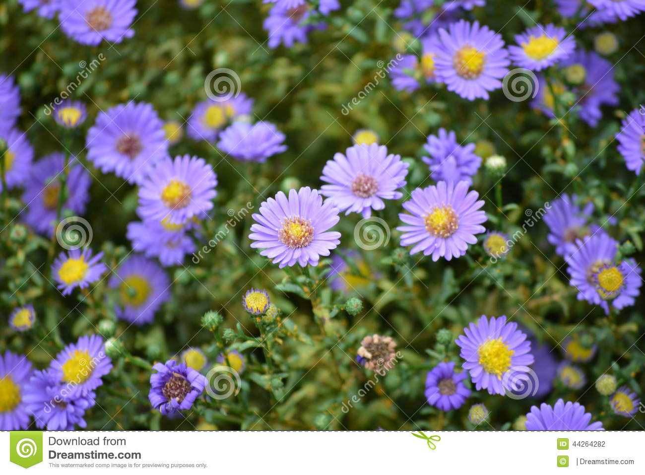 Purple Flowers Stock Photo Image Of Yellow Center Aster 44264282